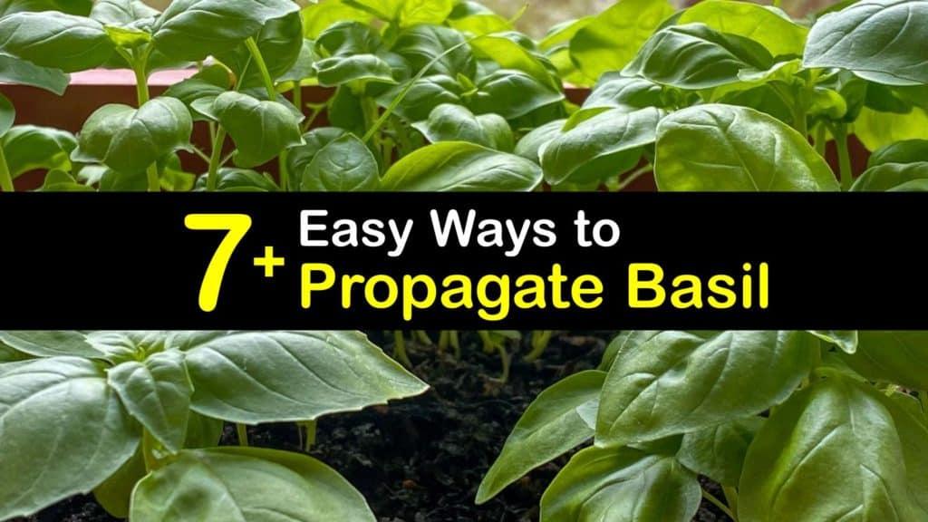How to Propagate Basil titleimg1
