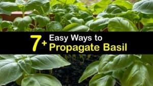 How to Propagate Basil titleimg1