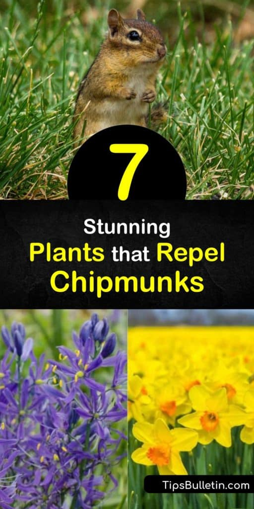 Discover how to repel chipmunks with chipmunk repellent plants. These critters hate the smell of plants like marigolds. Plus, learn how to get rid of chipmunks with other DIY tactics like making a cayenne pepper spray or removing bird seed and other food sources. #chipmunks #repel #plants