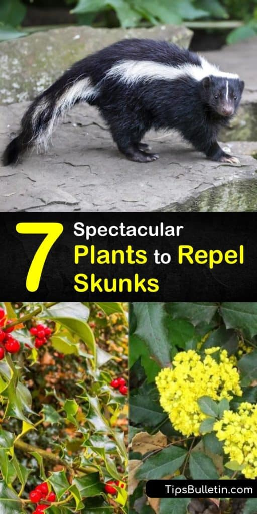 Plant skunk repellent plants like nettle to keep the stinky critters out of your yard. Combine them with another natural skunk repellent like citrus, predator urine, or a motion sensor linked to bright lights. Plus, cover trash cans to remove skunks' food source. #skunks #repellent #plants