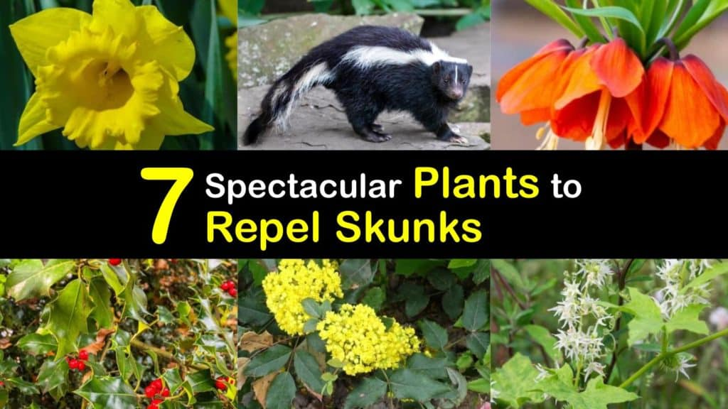 Plants that Repel Skunks titleimg1