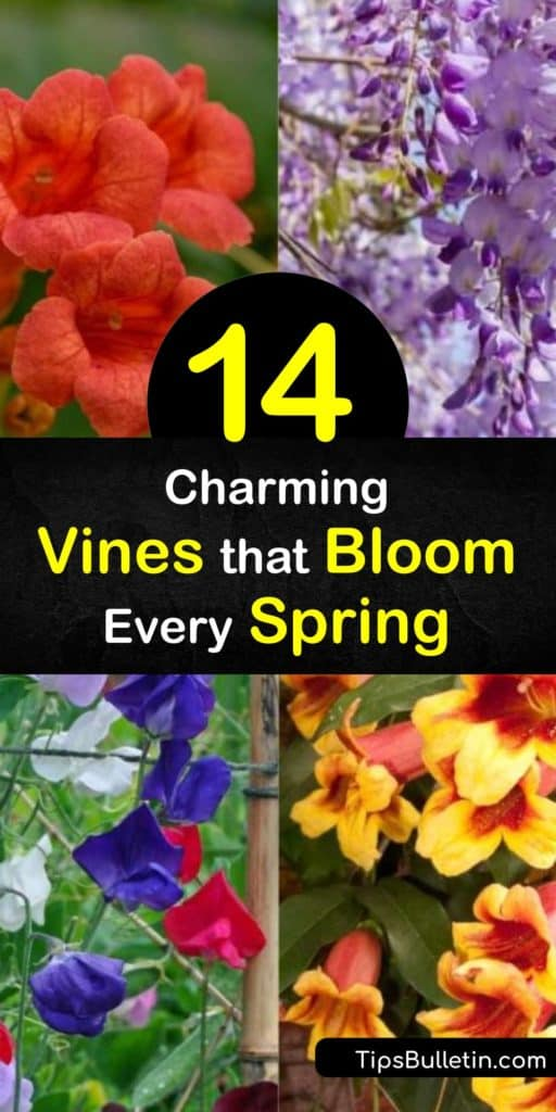Make a choice between wisteria, honeysuckle, or a trumpet vine to fill your home with purple, red, and white flowers in the early spring each year. These twining plants climb trellises and bask in full sun to transform your yard into a work of art. #spring #blooming #vines
