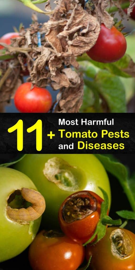 Discover what ails your tomato plants and treat them properly, whether they have leaf spot, blossom end rot, late blight, aphids, or cutworms. Yellow or wilting leaves and brown spots are signs of infected plants that need treatment. #tomato #diseases #pests #plants