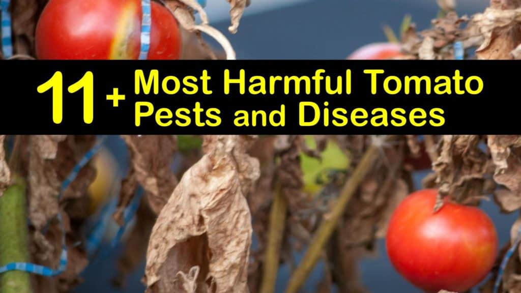Tomato Pests and Diseases titleimg1