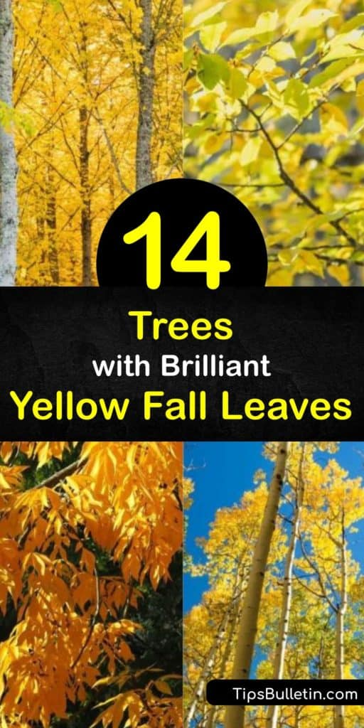 Embrace the beauty of yellowing fall foliage by planting trees like the red maple, tulip, hickory, and sugar maple around your property. These plants all have golden-yellow tree leaves that light up your yard every autumn. #trees #yellow #leaves