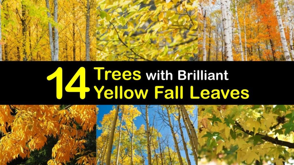 Trees with Yellow Leaves titleimg1