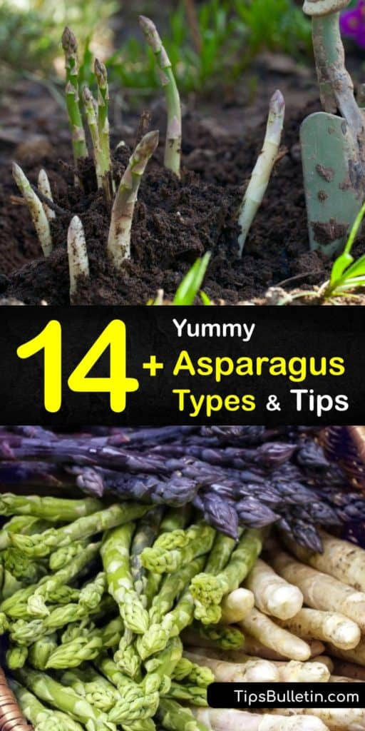 Discover the difference between asparagus spears in male plants and female plants. Growers produce a wide array of varieties, including Jersey Knight, Jersey Supreme, and Purple Passion. Green asparagus is the most popular, but different types are also delicious. #types #asparagus #varieties