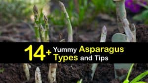 Types of Asparagus titleimg1