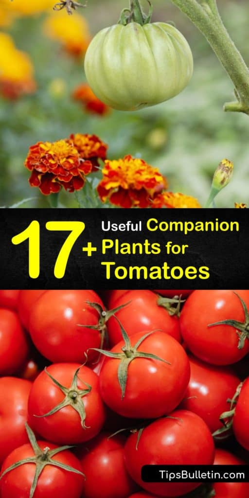 Discover the best companion plants for tomatoes. Attract pollinators and beneficial predatory insects that help control aphids, tomato hornworms, nematodes, and more with good companion plants like chives and nasturtium. #companion #planting #tomatoes