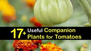 What to Plant with Tomatoes