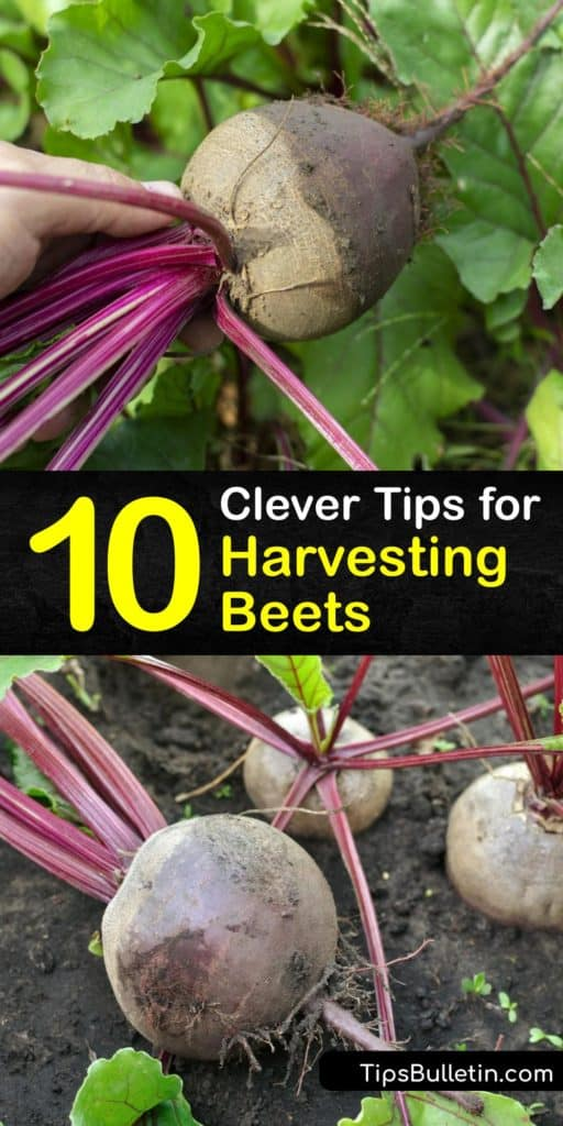 Find out when the best time is for harvesting beets to prevent them from getting fibrous and woody. Grow beets like Detroit Dark Red for pickling, canning, or eating fresh. Harvest beets six to eight weeks after planting beet seeds. #harvesting #beets #beetroot #when