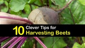 When to Harvest Beets titleimg1