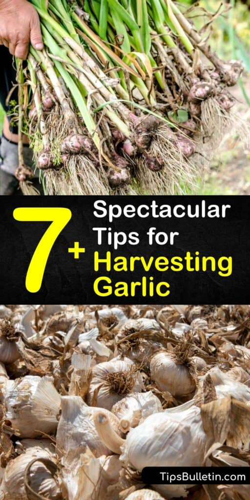 Discover how and when to harvest your bulbs after you plant garlic and ways to cure and store it. Garlic is from the allium family, and there are different garlic varieties, hardneck varieties with scapes, and softneck varieties. #whento #harvest #garlic #when