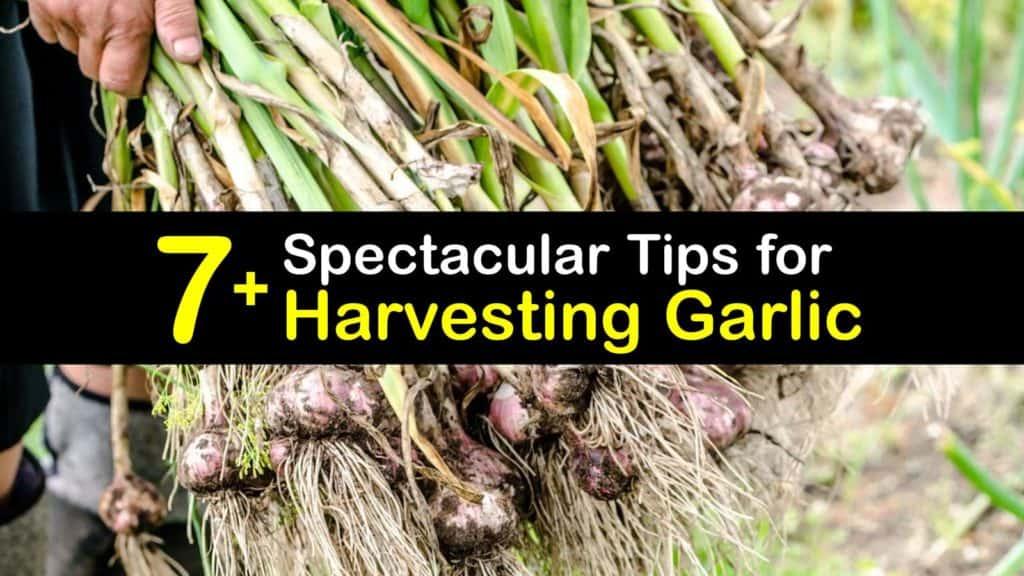 When to Harvest Garlic titleimg1