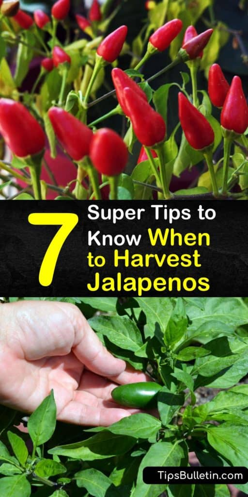 Learn when to harvest a chili pepper from your jalapeno plant for tacos and hot sauce. Just like bell peppers, jalapenos vary in color and flavor the more they ripen. Red jalapenos are hot and sweet, while green peppers have a mild flavor. #when #harvest #jalapeno #peppers