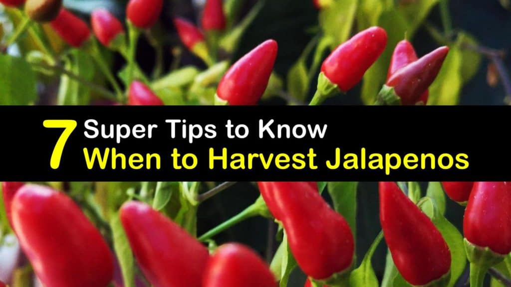 When to Harvest Jalapenos titleimg1