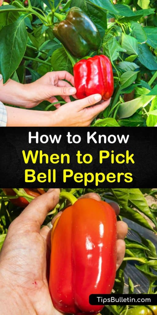 This growing season, learn how to harvest peppers after transplanting them outside. Pepper varieties like hot peppers and sweet peppers continue to ripen as they stay on the vine. Green bell peppers change color to red bell peppers the longer they stay on the plant. #when #picking #bell #peppers