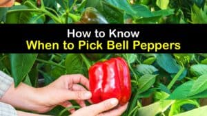 When to Pick Bell Peppers titleimg1