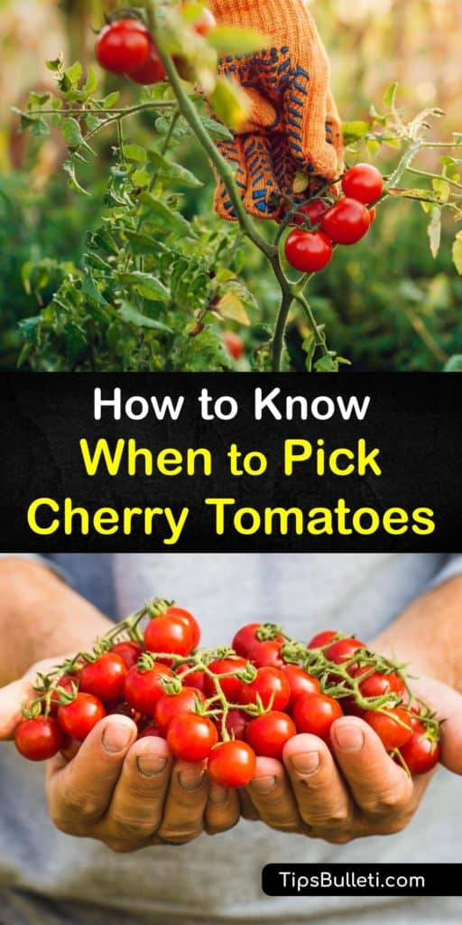 Find the perfect heirloom red tomatoes with this guide full of tips to pick pristine, ripe tomatoes. Inform yourself on the ripening process, ethylene gas, and fruiting colors of determinate tomatoes so that you always have colorful fruits with sweet flavors. #when #pick #cherry #tomatoes