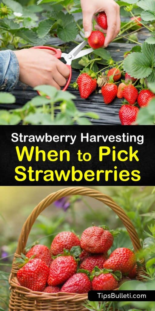 Learn how to harvest strawberries from your local farm or at pick-your-own farms. Some pickers use a thumbnail to cut through the vine. However, scissors work just as well. After the first year of growing June-bearing strawberries, you must be ready at harvest time. #when #picking #strawberries