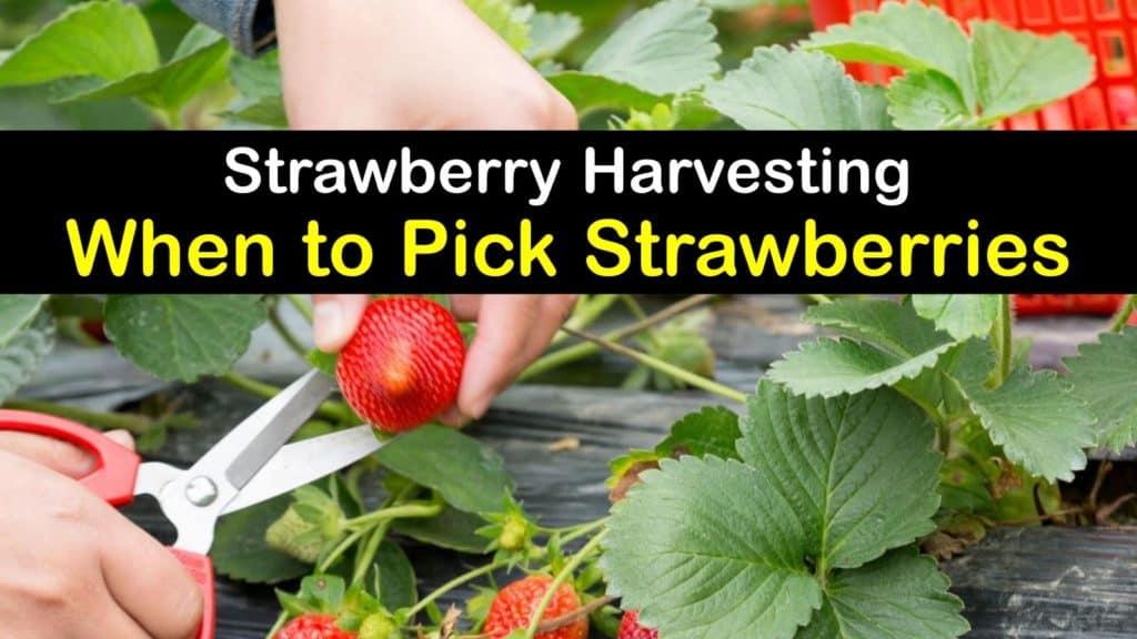 When to Pick Strawberries titleimg1