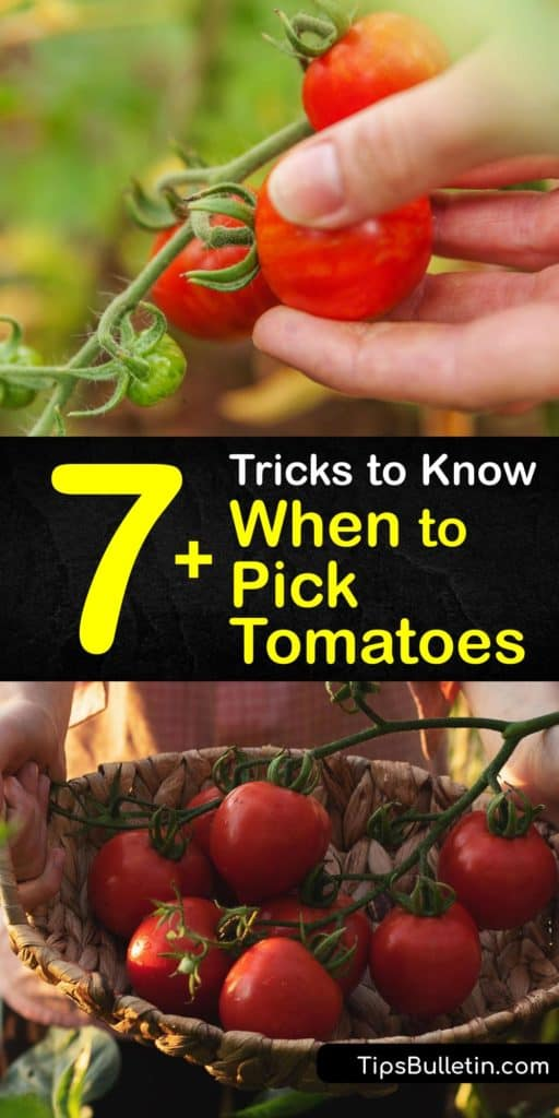 Learn when to pick-tomatoes and how to identify ripe tomatoes. Heirloom tomatoes indicate ripeness by skin color. Chlorophyll causes the fruit to be green initially. Ethylene gas turns the fruit into regular red tomatoes. To preserve ripe tomatoes, use a paper bag.  #harvest #tomatoes #picking