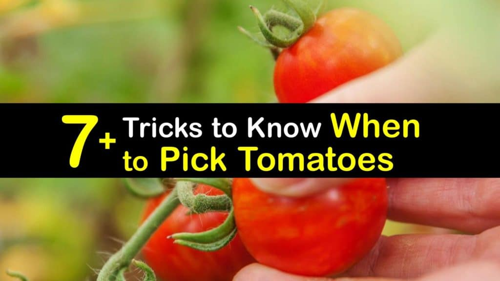 When to Pick Tomatoes titleimg1