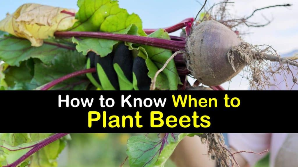 When to Plant Beets titleimg1