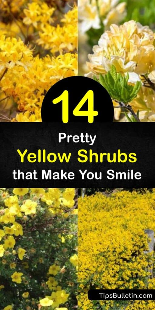 Discover the best shrubs with yellow flowers and leaves, whether you want an evergreen shrub-like camellia or a groundcover like potentilla. These hardy shrubs prefer full sun or partial shade. Try yellow azalea for fragrant flowers that attract hummingbirds. #shrubs #yellow #flowers #leaves