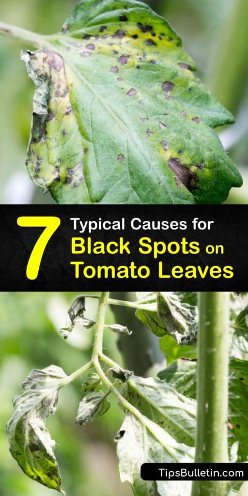Discover the top causes of black spots on tomato leaves, from fungal diseases like early blight to bacterial canker. Plus, learn how to prevent black spots by applying mulch and pesticide and watering consistently throughout the growing season. #tomato #leaves #diseases #black #spots