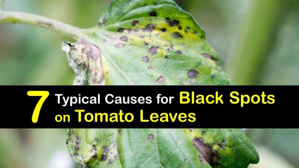 Black Spots on Tomato Leaves titleimg1