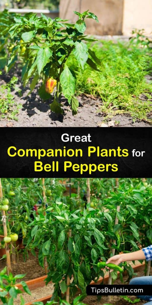Learn how to grow a healthy and productive garden by growing companion plants with your bell peppers. Grow radishes, chives, oregano, and marigolds in your garden, and avoid planting Brussels sprouts beside your pepper plants for the best results. #bell #pepper #companion #plants