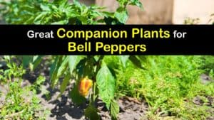 Companion Planting Bell Peppers titleimg1