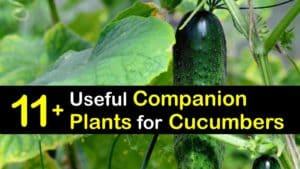 Companion Planting Cucumbers titleimg1