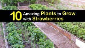 Companion Planting Strawberries titleimg1