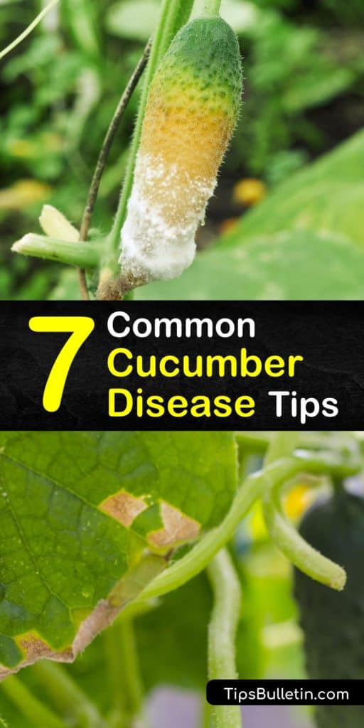 Learn how to spot, treat, and prevent cucumber diseases to grow a healthy and productive vegetable garden. Cucumber plants are often plagued by downy mildew, anthracnose, and other bacterial and fungal diseases that cause wilting and discoloration. #cucumber #diseases #common