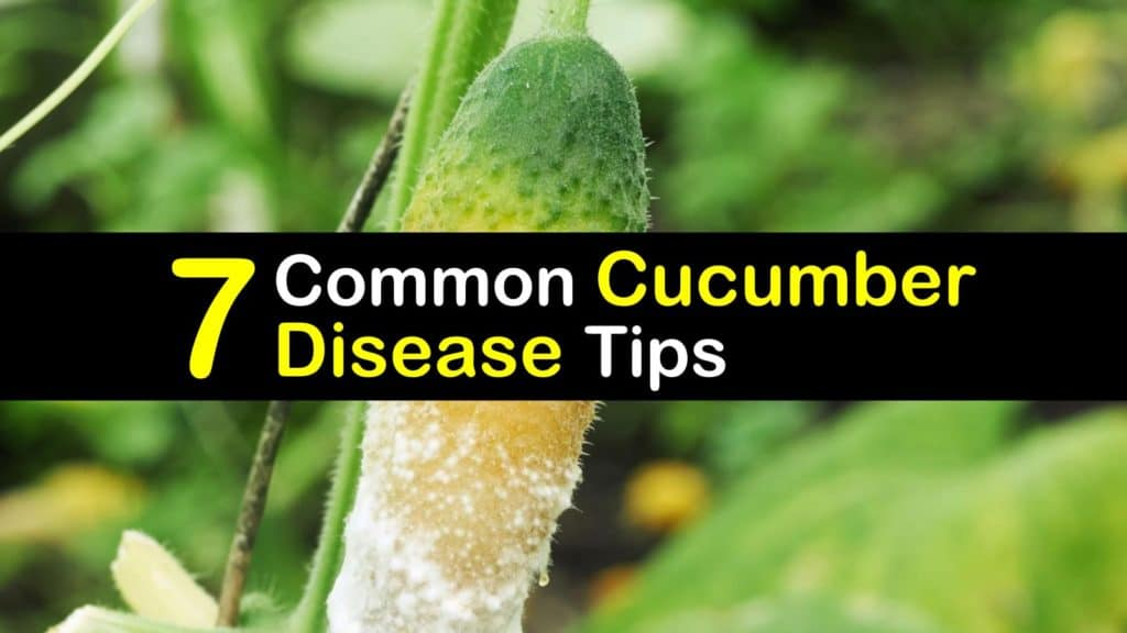 Cucumber Diseases titleimg1