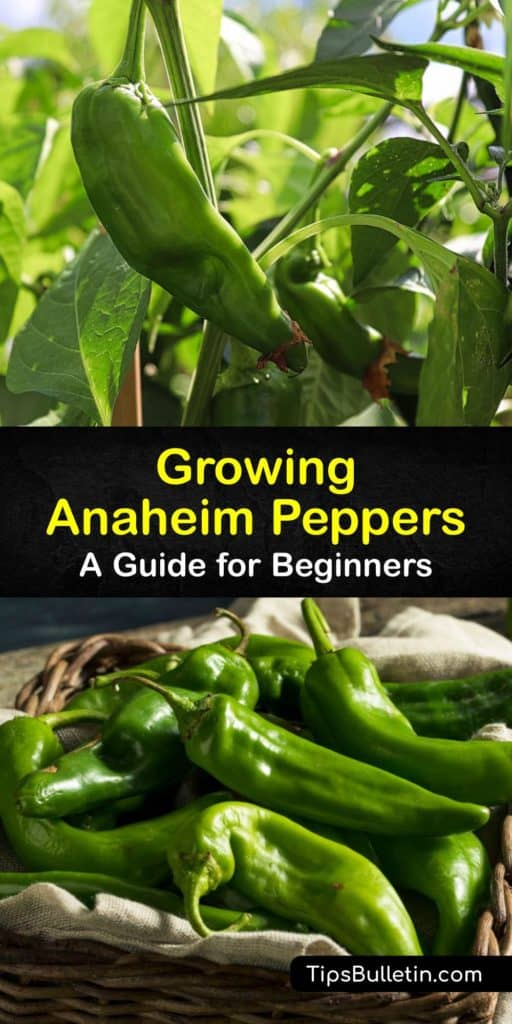 Discover how easy it is to grow Anaheim chili peppers (Capsicum annuum) at home by starting them from seed. These California hot peppers originated from New Mexico and are milder than the jalapeno and a great substitute for recipes that call for bell peppers. #howto #grow #anaheim #peppers