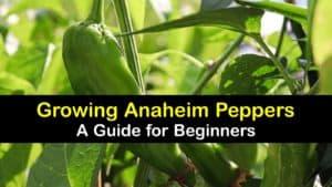 Growing Anaheim Peppers titleimg1