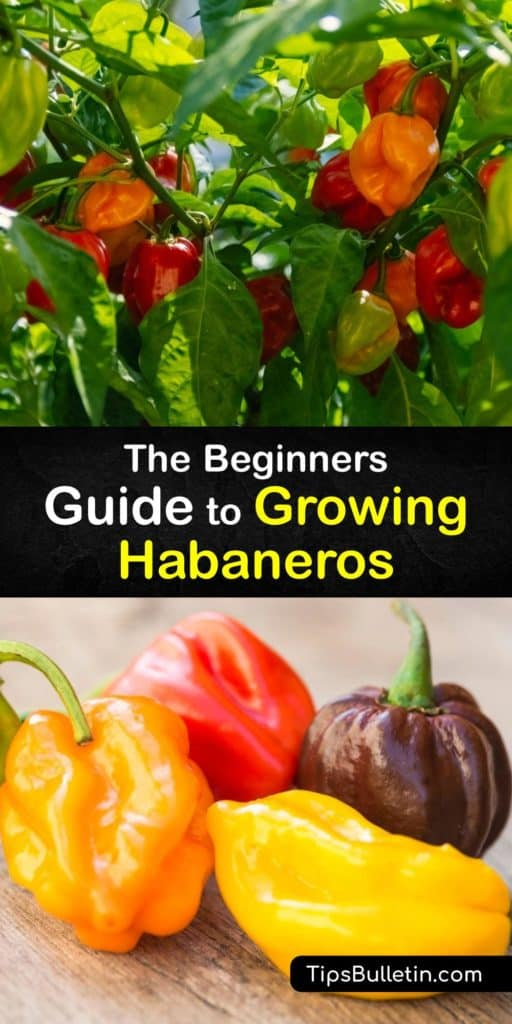 Discover how easy it is to grow your own habanero hot peppers at home in a few simple steps. Germinate your chili peppers indoors by planting seeds in front of a sunny window and transplant them in a large pot or garden after the last frost. #howto #growing #peppers #habaneros