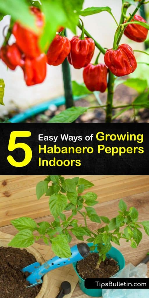 Habanero peppers are hot peppers that are a part of the capsicum family. During the growing season, use grow lights for pepper seeds indoors. After the last frost, transplant your habaneros outside after germination. #howto #grow #habanero #peppers