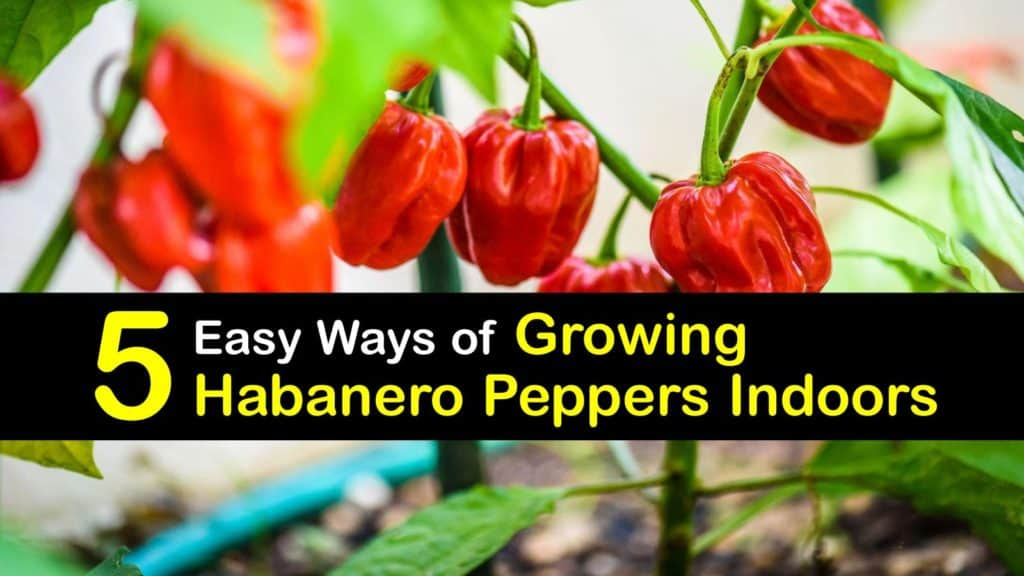 Growing Habanero Peppers Indoors titleimg1