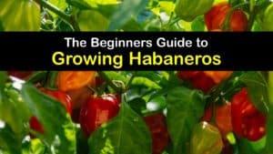 Growing Habanero titleimg1