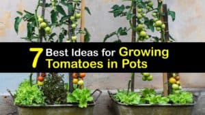 Growing Tomatoes in Pots titleimg1