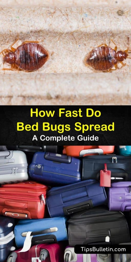 Bed bugs spread through the crevices in walls and hide in the baseboards and the box spring in your room. To handle nymphs and a bed bug infestation, use rubbing alcohol instead of pesticides to kill bed bugs. #how #bedbugs #spread #infestation #room