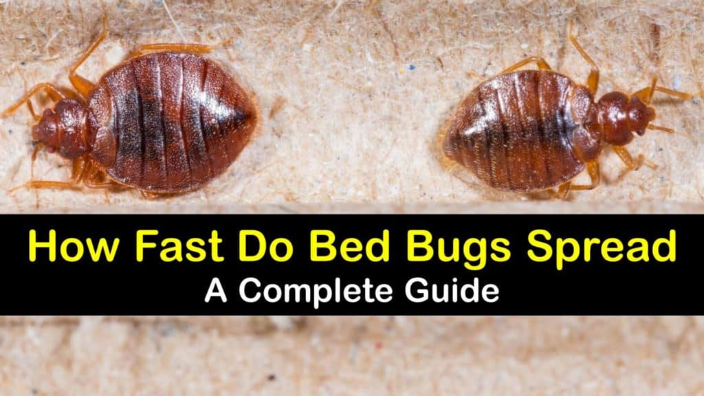 How Fast do Bed Bugs Spread from Room to Room titleimg1
