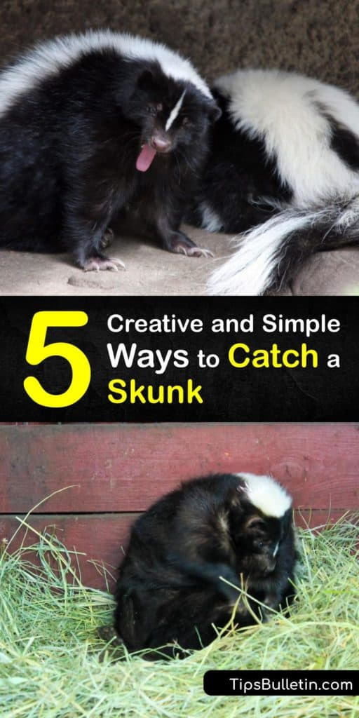 Learn the best bait to lure a critter like a skunk or a raccoon into a live trap. Baiting a skunk is simple when you use peanut butter, marshmallows, cat food, or insect larvae. Once you have a trapped skunk, call animal control to get rid of the animal. #howto #catch #skunk
