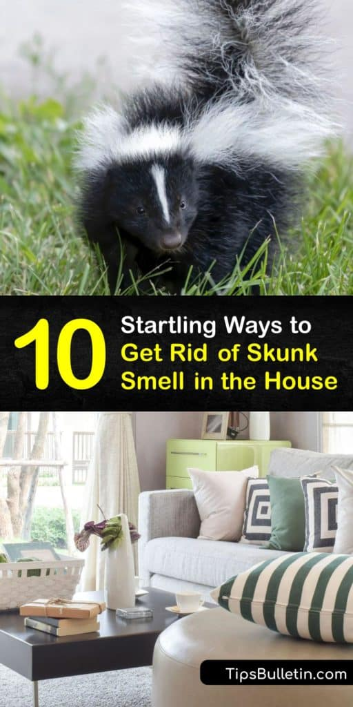Fight back against skunk odor that finds its way inside your home. Learn how to get rid of skunk smell with dish soap, bleach, and tomato juice while making DIY de-skunking recipes and understanding the thiols that are responsible for the stench of skunk spray. #skunk #smell #house #getridof