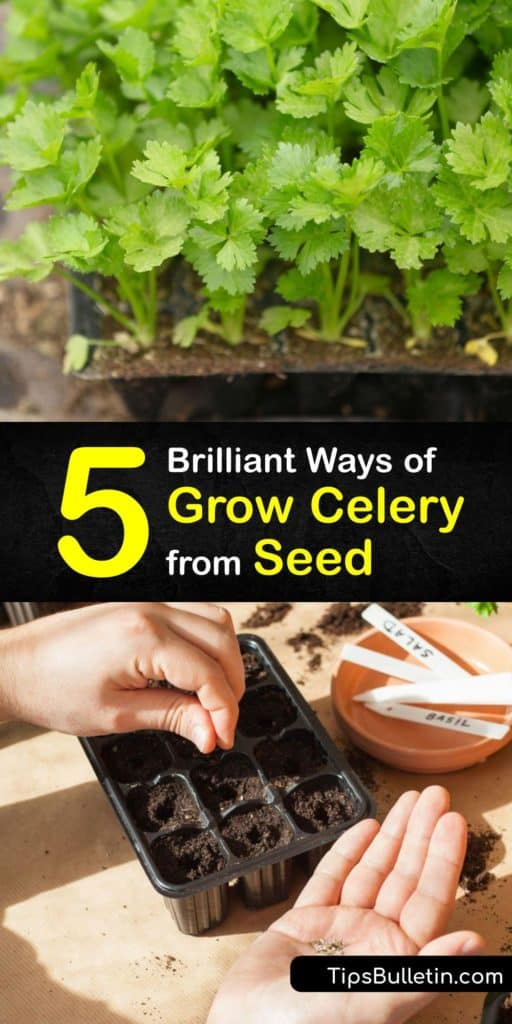 Learn how to plant celery, or Apium graveolens, in your garden. Since it has such a long growing season, it's best to start celery seedlings indoors. Find out the best tips for germination, transplanting, and harvesting homegrown celery. #howto #grow #celery #seed