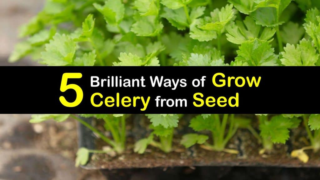 How to Grow Celery from Seed titleimg1